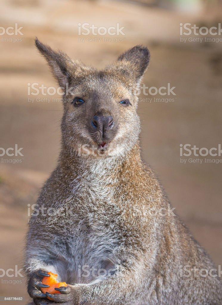 Bennett kangaroos stock photo