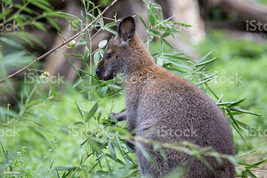 Bennett red necked wallaby among the vegetation stock photo