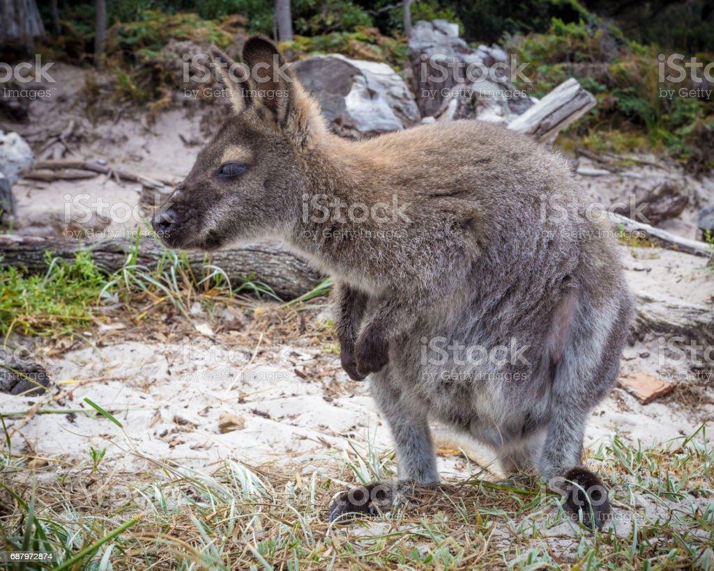Bennett Wallaby stock photo