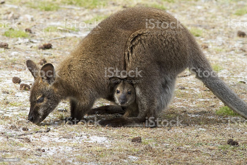 Bennetts Wallaby and Joey. stock photo