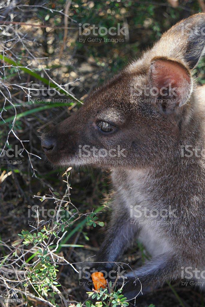 Bennett's Wallaby freycinet national park eating tourist scraps stock photo