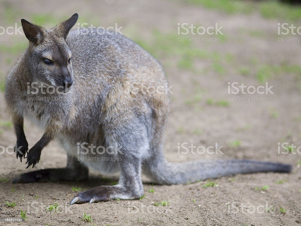 bennetts Wallaby royalty-free stock photo