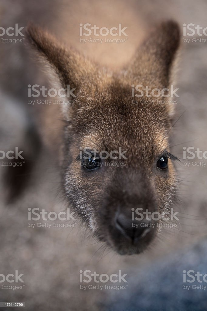 Bennetts Wallaby stock photo