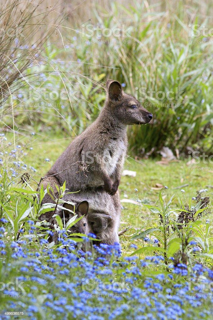 Bennett's wallaby. stock photo