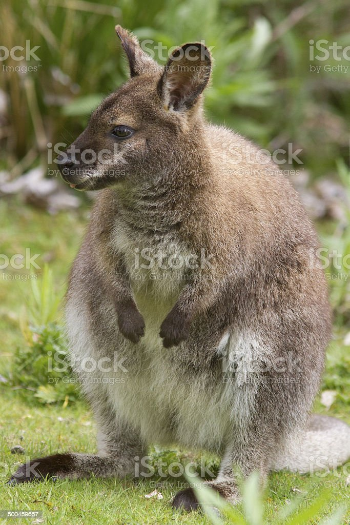 Bennett's Wallaby stock photo