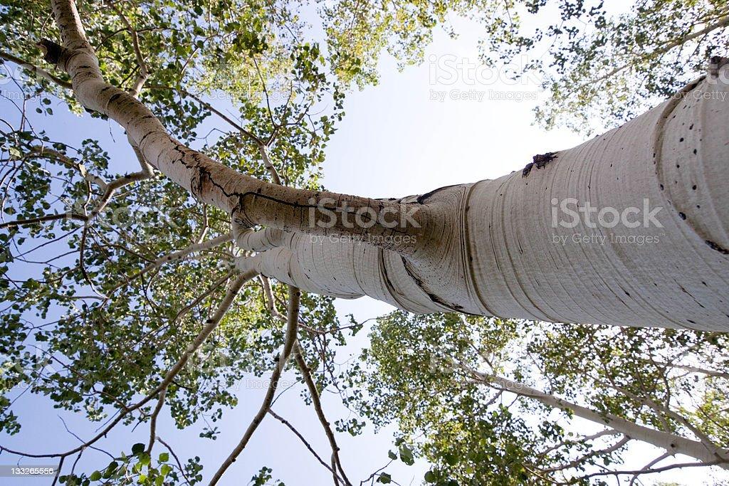 Bent Aspen Tree royalty-free stock photo