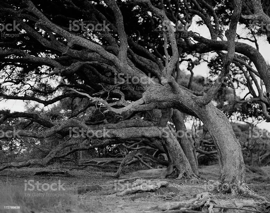 bent oaks royalty-free stock photo