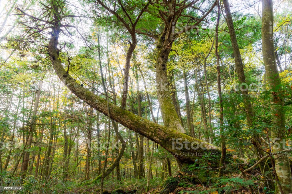 Bent Tree in Aokigahara (Sea of trees) stock photo