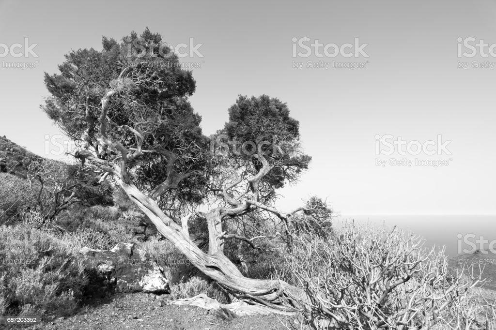 Bent tree in highlands of El Hierro stock photo