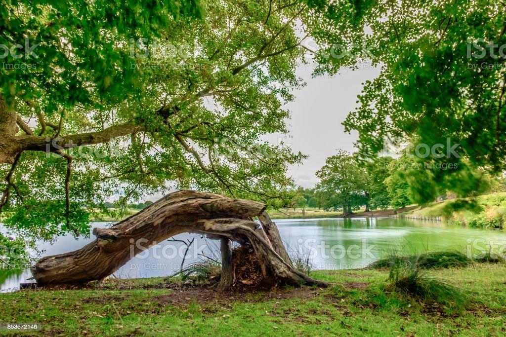 Bent Tree Trunk stock photo