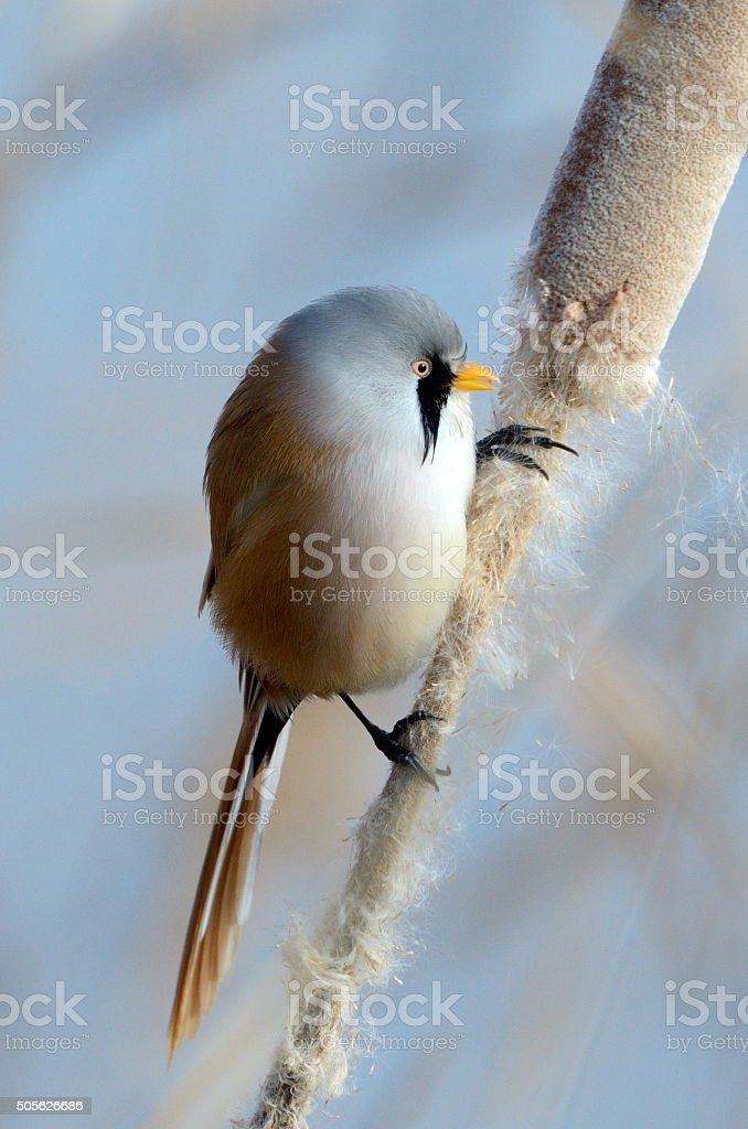 beraded tit in natural habitat (panurus biarmicus) stock photo