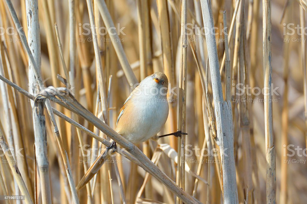 Beraded tit - reedling stock photo