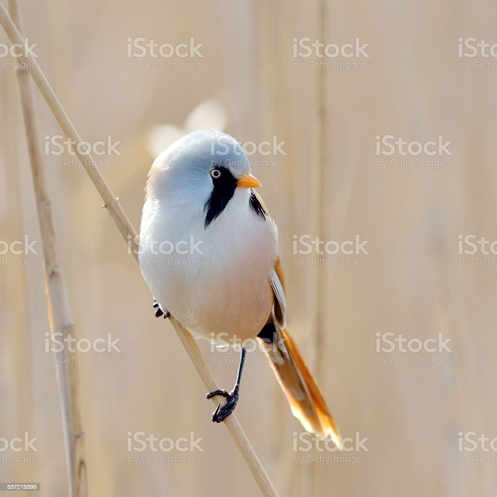 beraded tit - reedling (panurus biarmicus) stock photo