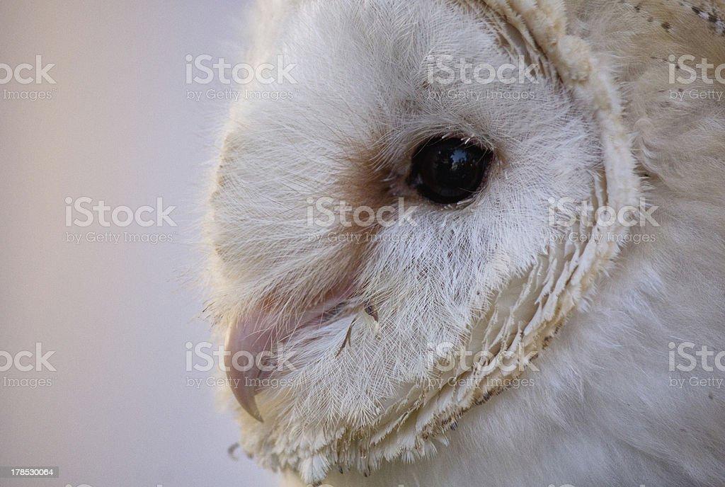 Beran Owl ( Tyto Alba ) royalty-free stock photo