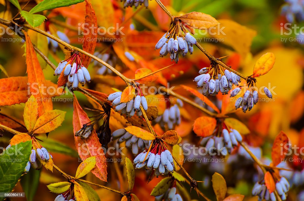 Berberis heteropoda fruits stock photo