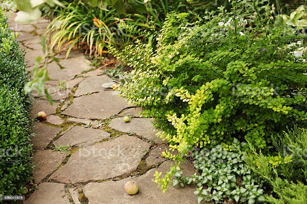 Berberis thunbergii Aurea and dead-nettle - ground cover plants stock photo