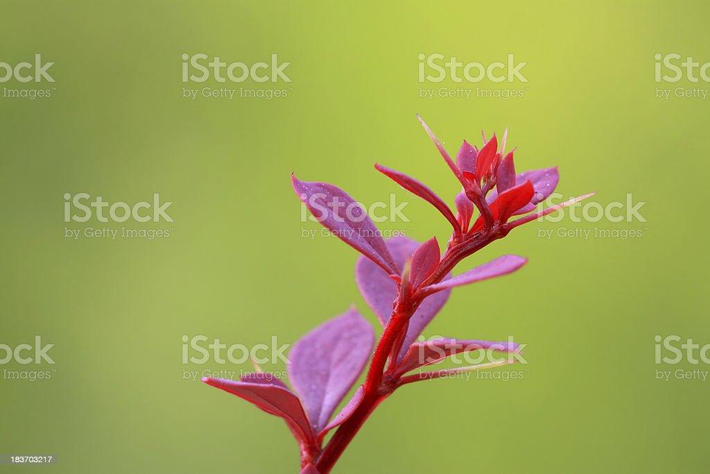berberis thunbergii plant royalty-free stock photo