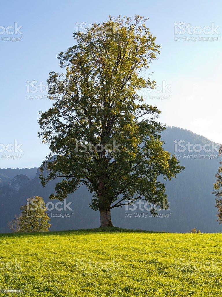 Berg-Ahorn im Abendlicht stock photo