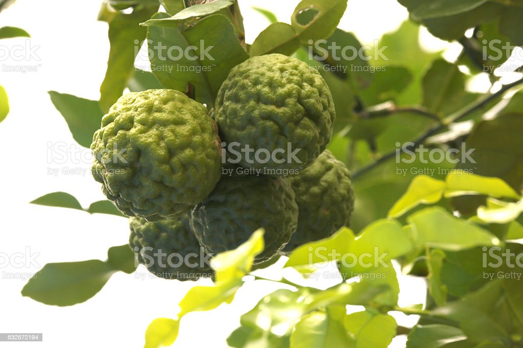 Bergamot herb Thailand. stock photo