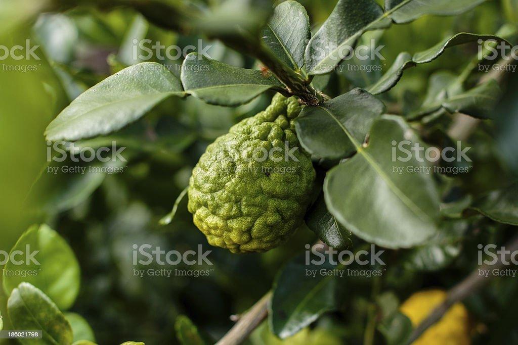 Bergamot on Tree (Kaffir Lime) stock photo