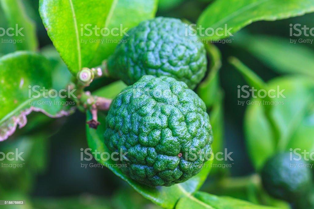 Bergamot on Tree stock photo