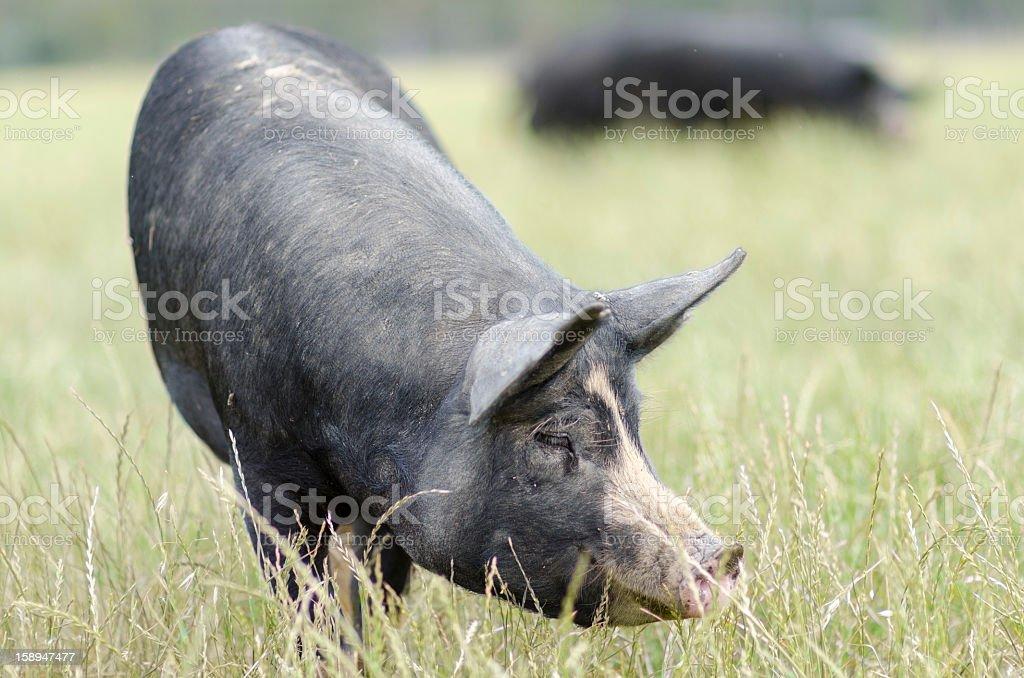 Berkshire Black Pig Grazing on Free Range Farm in Australia royalty-free stock photo