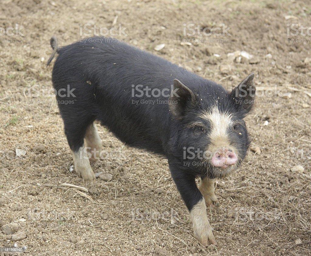 Berkshire Piglet stock photo