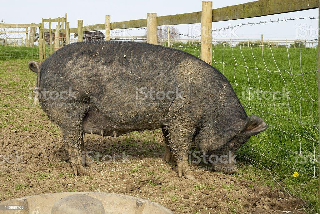berkshire sow stock photo
