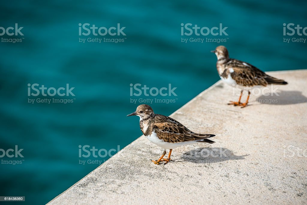 Bermudian sandpiper stock photo