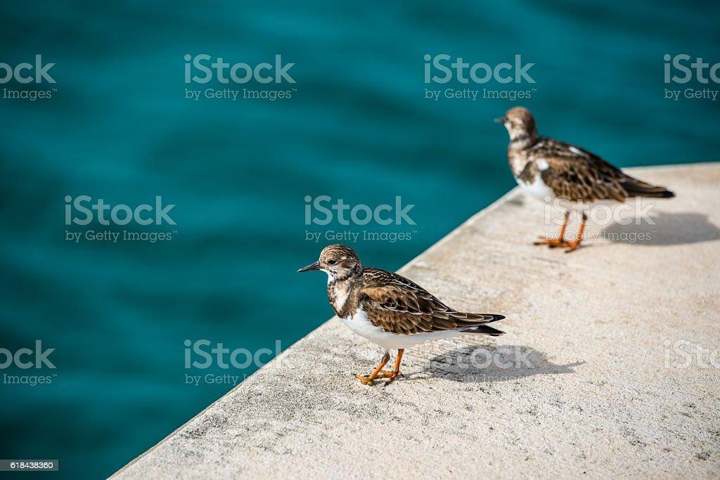 Bermudian sandpiper stock photo