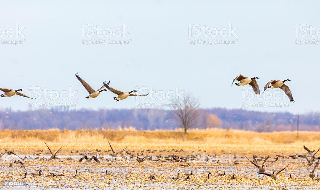 Bernaches du Canada en vol. stock photo
