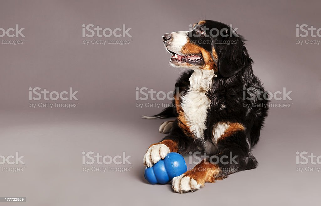Bernard Sennenhund with Chew Toy at Studio stock photo