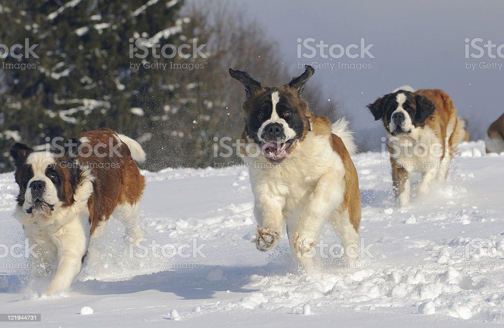 Bernardine run dynamically on the New royalty-free stock photo