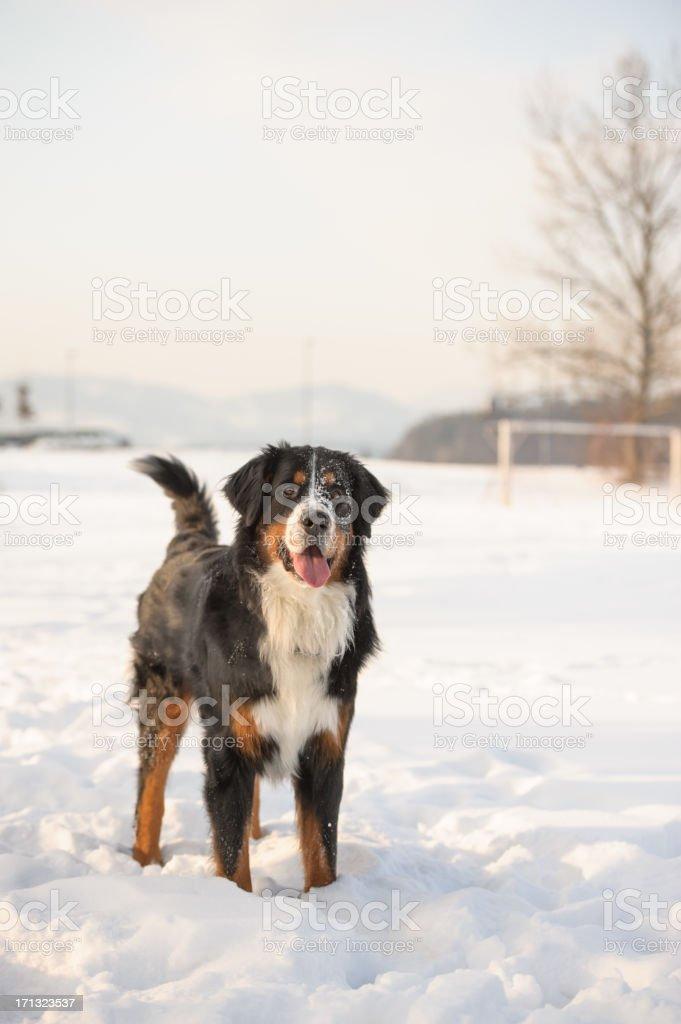 Bernese Dog stock photo