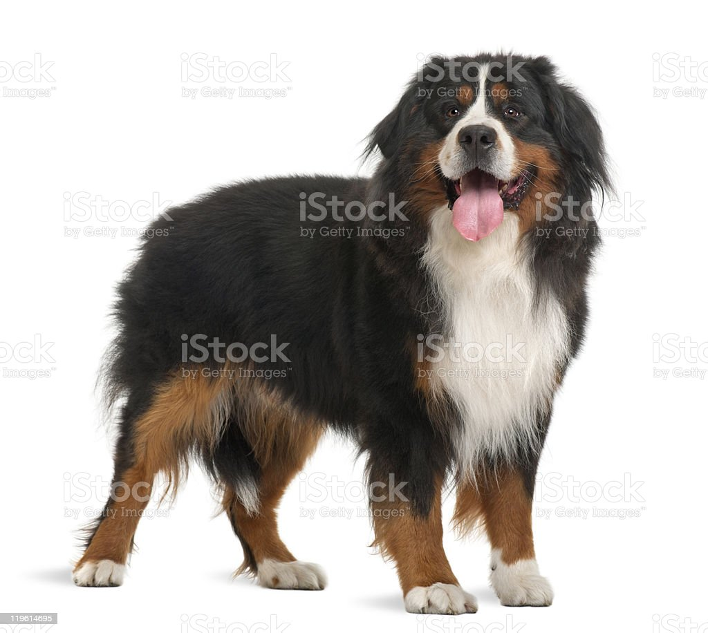 Bernese Mountain Dog, 3 years old, standing royalty-free stock photo