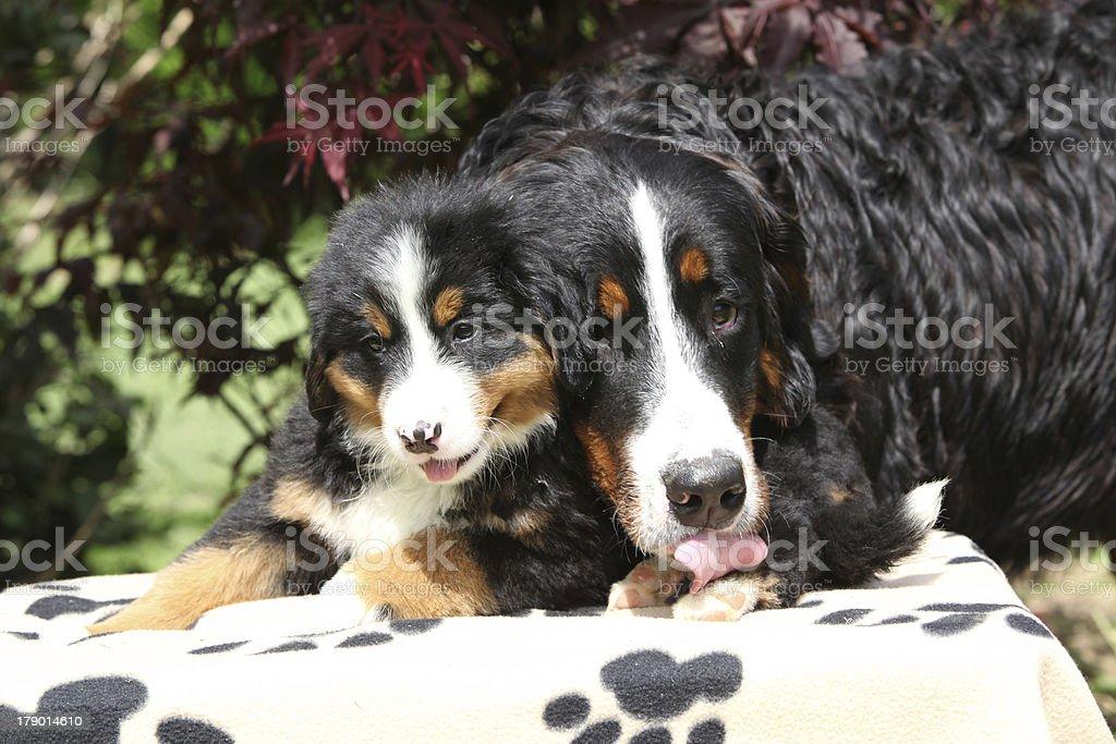 Bernese Mountain Dog bitch licking puppy royalty-free stock photo