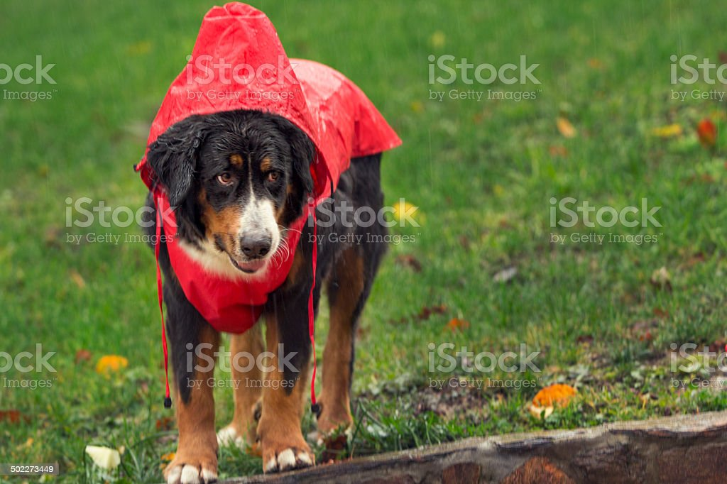 Bernese Mountain Dog dressed for rain royalty-free stock photo