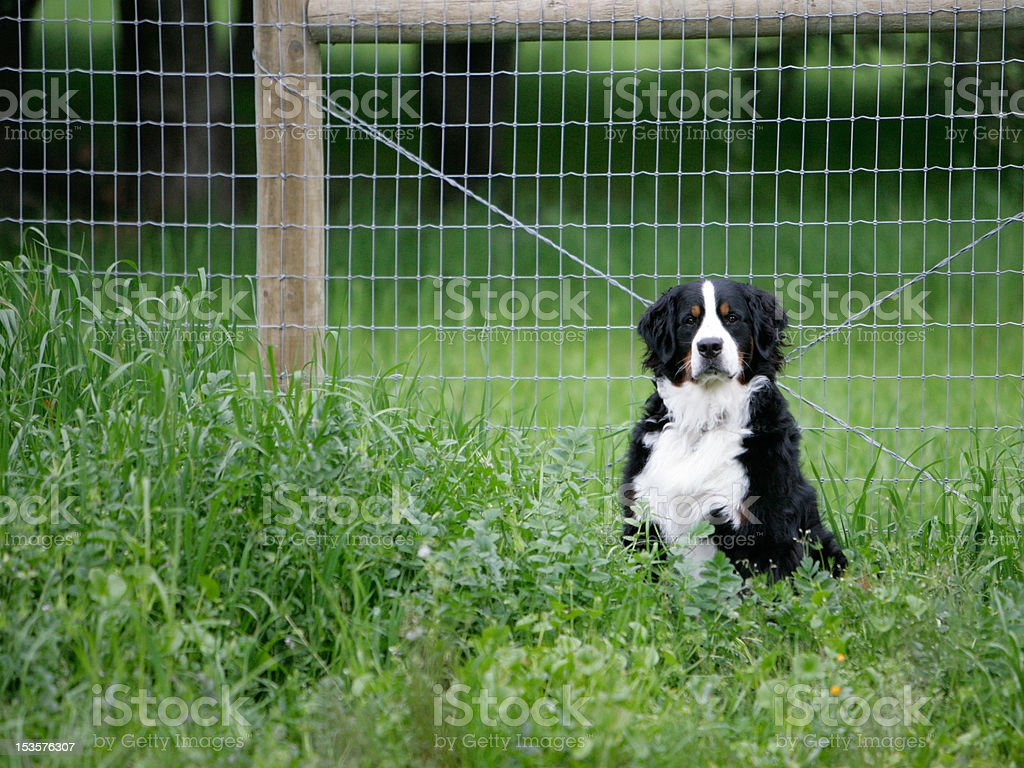 Bernese Mountain Dog near fence royalty-free stock photo