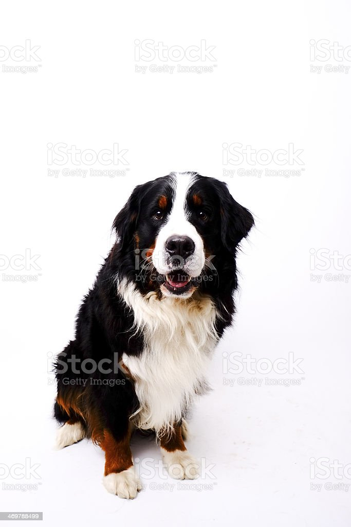 Bernese Mountain Dog royalty-free stock photo