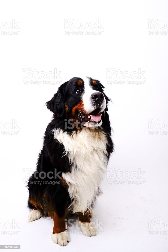 Bernese Mountain Dog royalty-free stock photo
