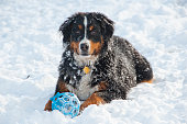 Bernese Mountain Dog Plays in Snow
