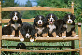 Bernese mountain dog puppies on a bench in a meadow