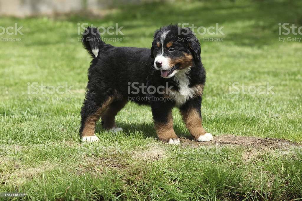 Bernese Mountain Dog puppy in the garden royalty-free stock photo