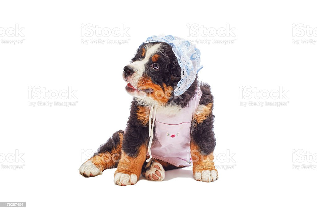 bernese mountain dog puppy stock photo