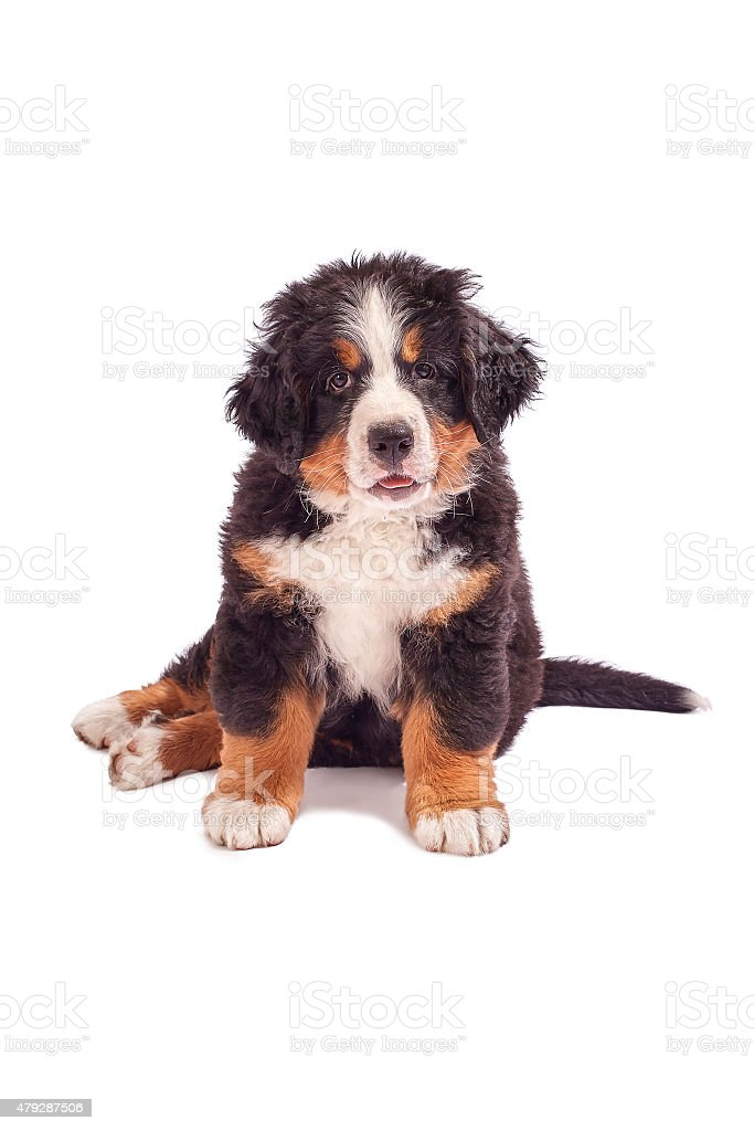 bernese mountain dog puppy stock photo