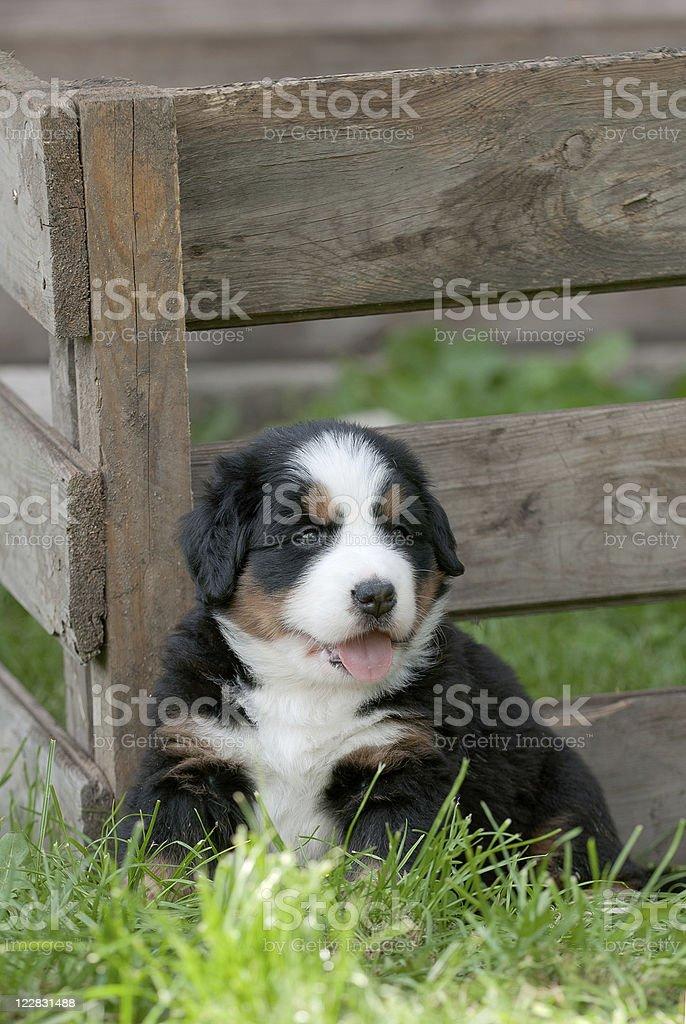 Bernese Mountain Dog puppy portrait royalty-free stock photo