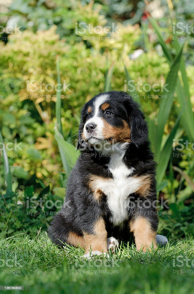 Bernese Mountain Dog puppy  portrait royalty-free stock photo