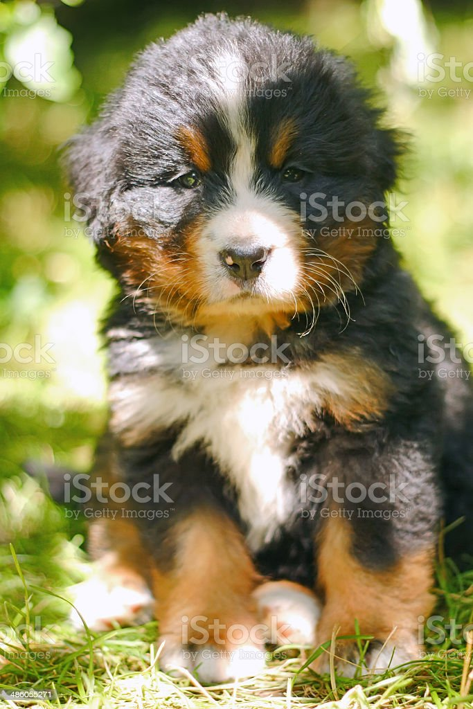 Bernese Mountain dog puppy sitting in the grass stock photo