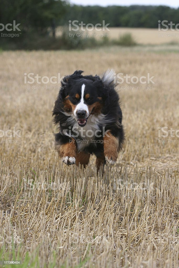 Bernese Mountaindog jumping stock photo