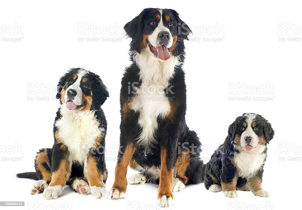 bernese moutain dogs royalty-free stock photo